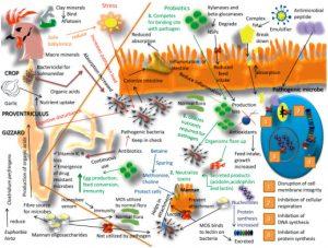 فیتاز و اسید آلی,اسید لاکتیک ,دستگاه گوارش , مواد معدنی