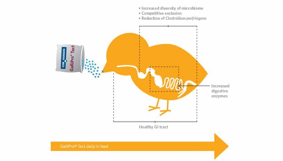 پروبیوتیک گالیپرو,جوحه های گوشتی,خرید خوراک دام و طیور,خرید پروبیوتیک طیور,قیمت نهاده ها , بهبود سلامتی گله