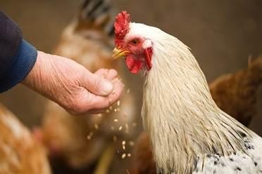 کنجاله,مرغداری ,خودخوری مرغ ها,کانیبالیسم ,پرورش مرغ