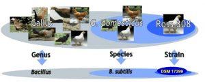 گالیپرو , باسیلوس سوبتیلیس , رشد جوجه های گوشتی ,بهبود هضم و جذب ,میکروفلور روده