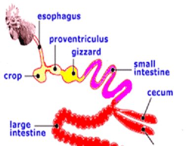 پروبیوتیک ,جیره غذایی طیور ,آنتی بیوتیک ,باکتری های مضر ,جوجه های گوشتی