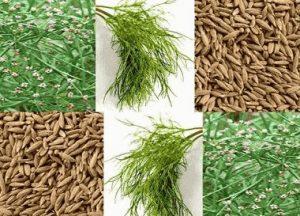 زیره سبز ,تغذیه دام ,ترشح آنزیم ,هضم چربی ,کاربرد زیره سبز