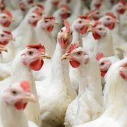 افزایش وزن جوجه های گوشتی ,گالیپرو ,پروتئین جیره ,,,