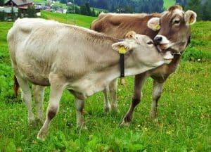 گاو های براون ، گاو های براون سوئیس