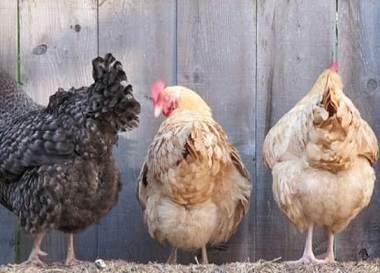 پرولاپس مقعد طیور ,عارضه مقعد طیور ,مرغان تخمگذار ,عارضه مرغان تخمگذار ,پرولاپس اویداکت