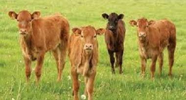 پروبیوتیک گوساله ,تغذیه گوساله ,تخمیر شکمبه ,خوراک گوساله,,