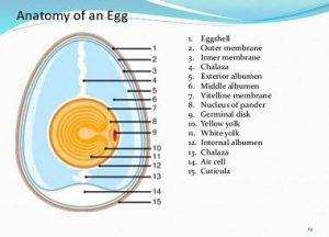 ترکیبات تخم مرغ ,مقایسه ترکیبات تخم مرغ ,پرورش درون قفس طیور ,پرورش آزاد طیور ,اسید های چرب
