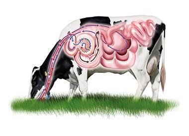 اسیدوز تحت حاد ,بیماری سار در گاو ,جابه جایی شیردان ,کبد چرب لنگش ,سندروم گاو زمین گیر