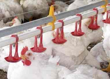 نیپل آبخوری ,آبخوری مرغداری ,مصرف آب مرغداری ,تنظیم نیپل مرغداری ,,