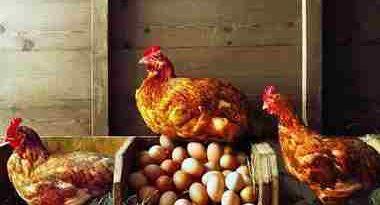 پلت تخم گذار ,مرغ تخمگذار ,مدیریت مرغ تخم گذار ,تولید تخم مرغ