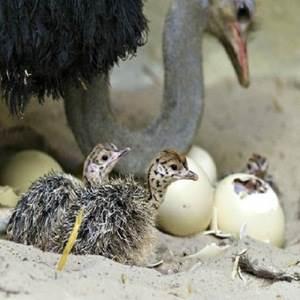 جوجه کشی طبیعی شترمرغ