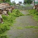 نکات تغذیه ای و مدیریتی مهم گاو ها و گوساله ها در گاوداری