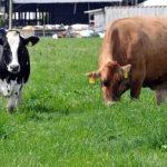 مقایسه اثر استرس گرمایی بر عملکرد تولید شیر و افزایش سلول های سوماتیک گاو های شیری هلشتاین و جرسی