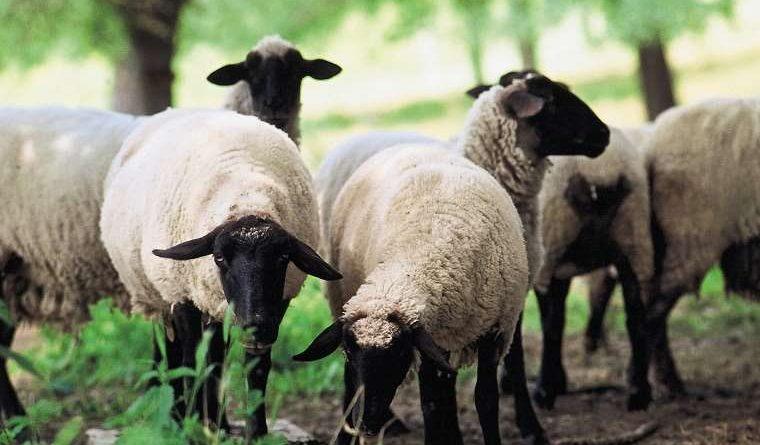باروری و تولیدمثل در گوسفندان