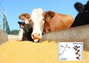 مزایای متیونین در تغذیه گاو