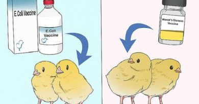 واکسیناسیون جوجه گوشتی در جوجه کشی