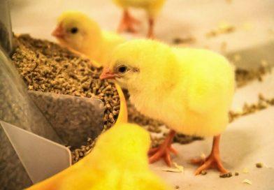 میزان جوجه درآوری مرغ های مادر