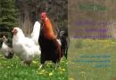 بررسی راهکارهای بهبود تولید در مرغداری