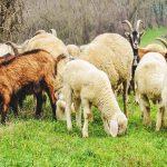 نیازهای معدنی بز و گوسفند