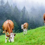نشخوار کردن و چریدن گاو- فواید نشخوار در گاو