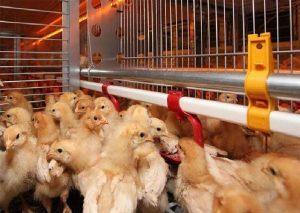 پرورش پولت تخمگذار و مدیریت تخم گذاری ، تحریک نوری