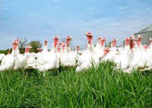 پرورش بوقلمون بدون استفاده از آنتی بیوتیک