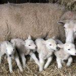 چندقلوزایی گوسفندان و ژنهای موثر بر این صفت